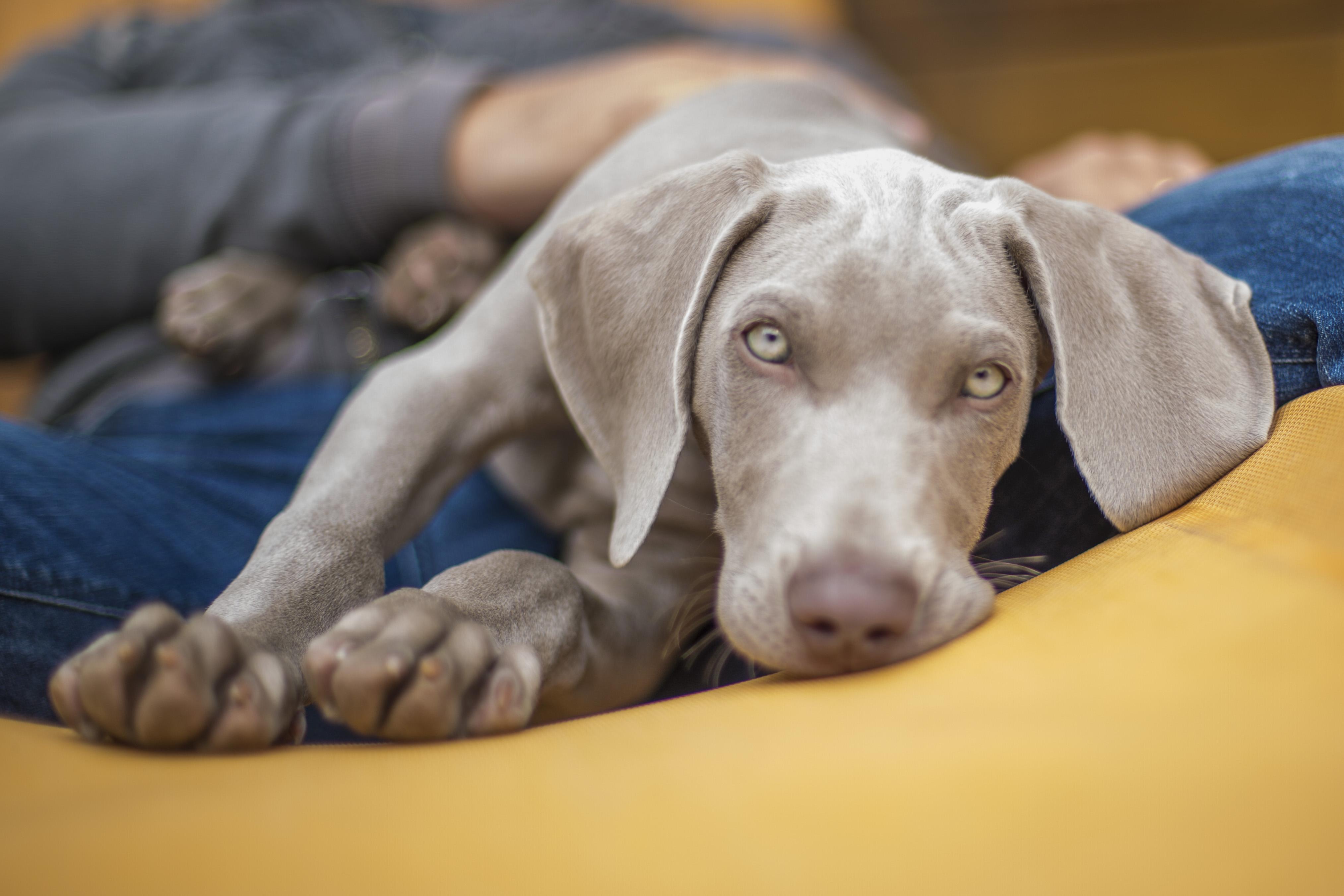 Pet photography. Primo piano di un cane Weimaraner. Foto di Luca Finessi.