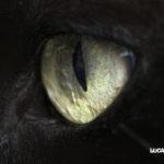 L'incredibile sguardo di un gatto nero. Foto di Luca Finessi.