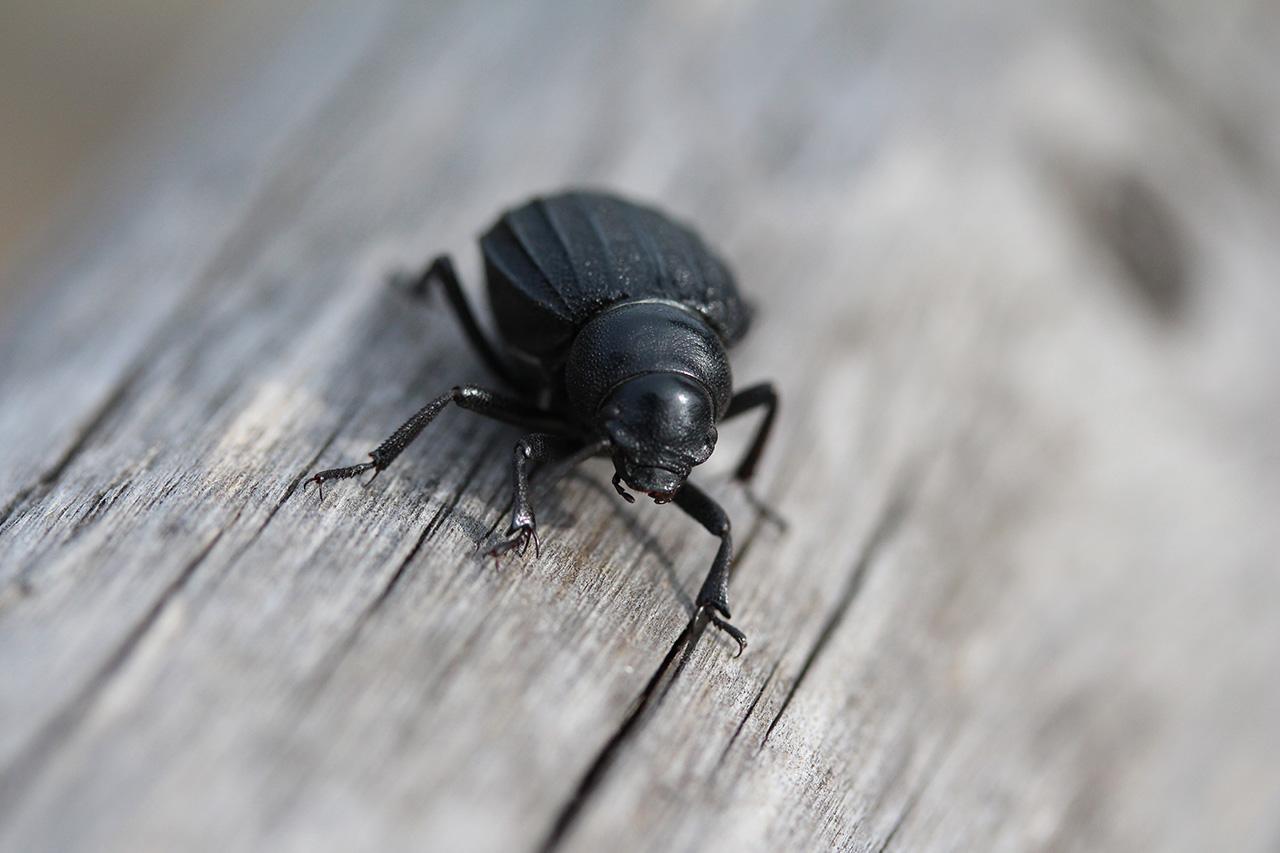 Fotografia macro di insetti. Uno scarafaggio. Foto di Luca Finessi.